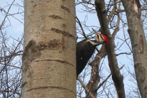 1rsz_pleated_wood_pecker