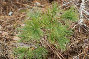 pine_tree_forest